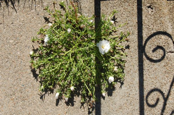 Portulaca sprouts out from a thin crack in the concrete